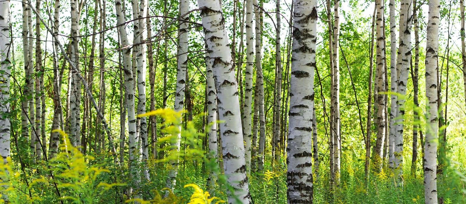 Summer birch forests in sunlight.
