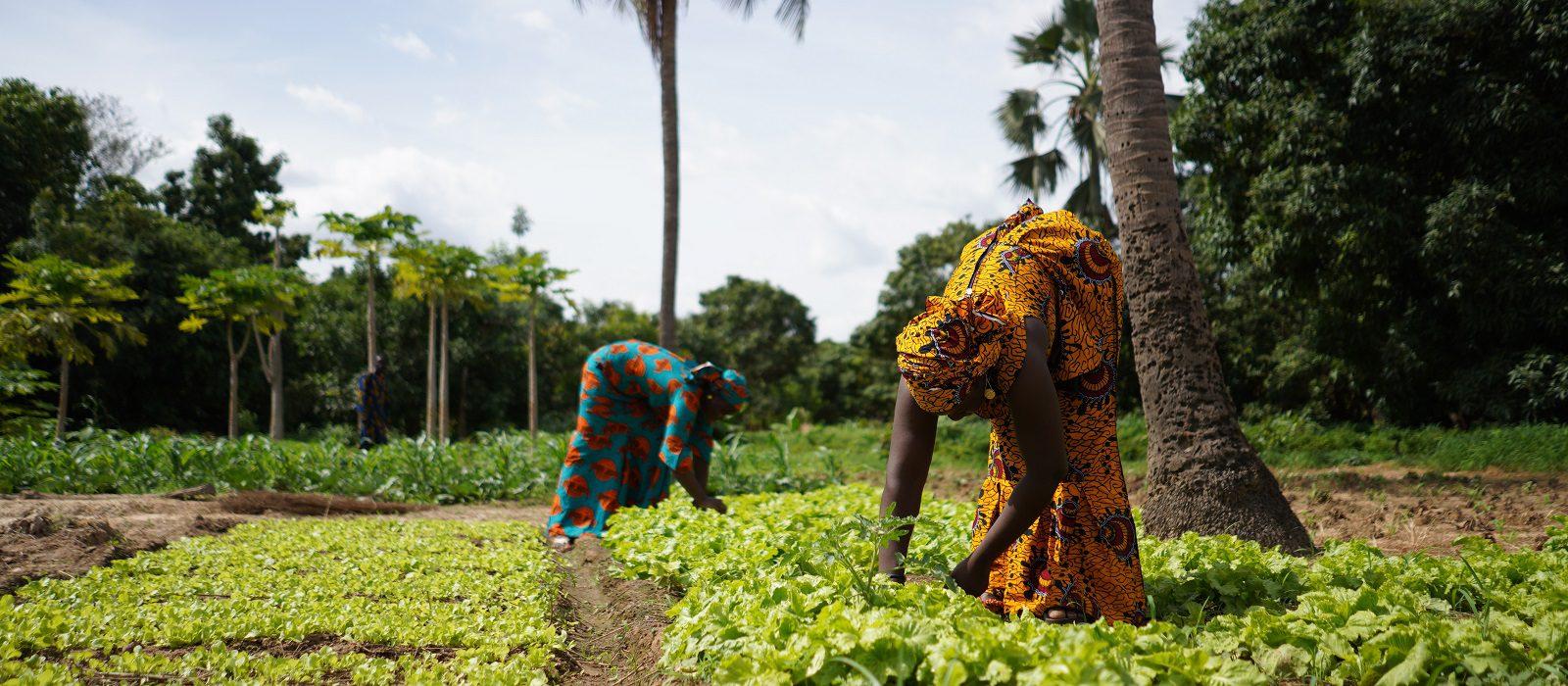 Two Women Farmers Weeding A Salad Garden In A West African Rural Community