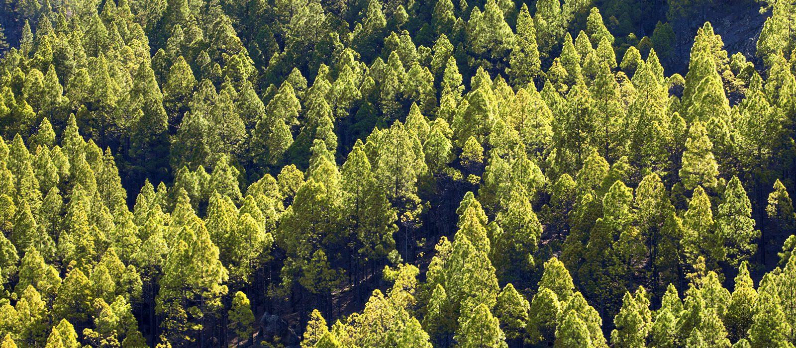 Gran Canaria, slopes leading to Roque Nublo reforested a few decades ago, Canary pines all the same age, shape and size